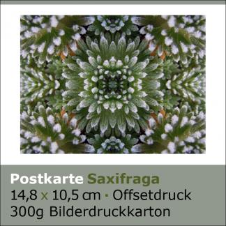 Postkarten Saxifraga